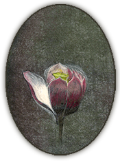 Magnolia painting by Morris Graves; photo by Boshe Struve, Copyright 2016 Morris Graves Foundation